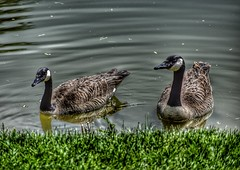 Canada Geese (CTfotomagik) Tags: canadageese waterfowl bird goose water explore wildlife ripples reflection droplets colorado nikon larimercounty