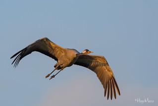 Kranich - Common Crane - Grus grus