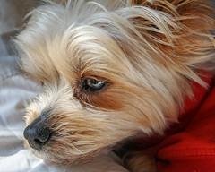 "Pet dog yorkie ""santa"" (shinichiro*) Tags: 20180527sdim3363 2018 crazyshin sigmasdquattroh sdqh sigma1770mmf284dcmacrohsm fuji japan spring may dog yorkie ヨークシャテリア santa 42348829012 3360183 201808gettyuploadesp"