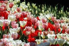 Brightness of the tulips (LotusMoon Photography) Tags: tulips colorful spring nature seasons garden botanicgarden chicagobotanic chicagobotanicgarden petals blooms blossom blooming bright red white flowers annasheradon lotusmoonphotography