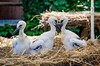 Animals. (ost_jean) Tags: animals ooievaars dieren animaux france frankrijk storks nikon d5300 tamron sp af 1750mm f28 xr di ii vc ld aspherical if ostjean chicks