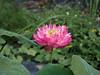 Sacred Lotus 'Thailand Red Paradise1' บัวหลวง 'ไทยแลนด์ เรดพาราไดส์ 1' 11 (Klong15 Waterlily) Tags: thailandredparadise1 lotus redlotus sacredlotus nelumbonucifera บัวหลวง บัว ดอกบัว บัวไหว้พระ ไทยแลนด์เรดพาราไดส์ บ้านและสวน ดอกไม้