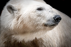 Stillness (helenehoffman) Tags: arctic bear wildlife conservationstatusvulnerable sandiegozoo mammal fish ursusmaritimus ursidae tatqiq polarbear polarbearplunge marinemammal animal coth alittlebeauty specanimal coth5
