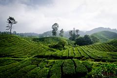 Cameron Highlands' tea (WhiteFlowersFade) Tags: malaisie malaysia asie asiedusudest asia southeastasia travel voyage nikon d7000 d7k landscape landschaft paysage tea teaplantation plantationdethé thé campagne cameronhighlands countryside green