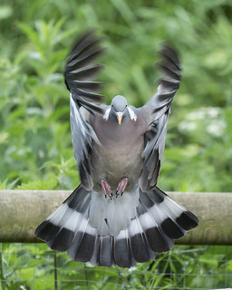 Wood Pidgeon