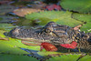 Lily Pad Gator (tclaud2002) Tags: gator alligator reptile lizard wildlife animal water lily pads lilypads nature mothernature outdoors whitecity park whitecitypark fortpierce florida usa