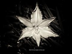 Wild flower (Michelle Schreuder) Tags: flower wild bloem tulp tulip blackandwhite nature natuur landgoed landscape landschap bouvigne breda noordbrabant thenetherlands nederland europa europe world michelleschreuder samsungnx30