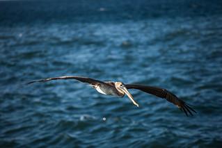 Cuba - La Habana - Pelican