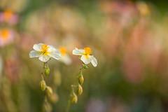 Duo (mclcbooks) Tags: flower flowers floral macro closeup denverbotanicgardens colorado spring