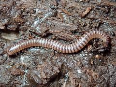 Cylindroiulus punctatus (lloyd177) Tags: millipede arne rspb dorset