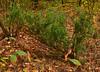 L-shaped juniper (МирославСтаменов) Tags: russia moscowregion juniper sapling tree shrub coniferous forest