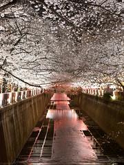 Cherry blossoms roof (gemapozo) Tags: night pentax megurogawa river blossom 645z cherry sakura tokyo japan 目黒区 東京都 日本 jp hdpentaxdfa645macro90mmf28edawsr 目黒川 夜桜 ソメイヨシノ