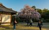 Tenno-ji (tokyobogue) Tags: japan tokyo tennoji tennojitemple shrine nikon nikond7100 d7100 sigma sigma1750mmexdcoshsm sakura cherryblossom cherryblossoms blossoms flowers yanaka hdr trees dusk sunset