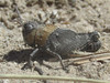 Arphia conspersa, nymph (tigerbeatlefreak) Tags: arphia conspersa insect grasshopper orthoptera acrididae nebraska