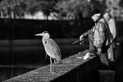 Pêcheurs (heiserge) Tags: heron birds oiseaux fisherman fishing fisher pêcheur metz france portrait river rivière animal noirblanc blackwhite noiretblanc blackandwhite tamron sp 70200 f28 di vc usd tamronsp70200 f28divcusd blackwhiteaward wow wowl2 greatphotographers
