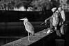Pêcheurs (heiserge) Tags: heron birds oiseaux fisherman fishing fisher pêcheur metz france portrait river rivière animal noirblanc blackwhite noiretblanc blackandwhite tamron sp 70200 f28 di vc usd tamronsp70200 f28divcusd blackwhiteaward wow