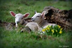 Spring lambs - Buckinghamshire (Alan Woodgate) Tags: spring lambs nikon d500