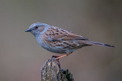 Dunnock (Simon Stobart (Catching Up and Editing)) Tags: dunnock prunella modularis north east england naturethroughthelens ngc npc coth5
