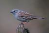 Dunnock (Simon Stobart) Tags: dunnock prunella modularis north east england naturethroughthelens ngc npc coth5