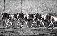 2018 03 30 Zebraballett Tierpark Karlshorst IR 720nm - 084 (Mister-Mastro) Tags: zebra zoo berlin karlshorst 720nm infrared ir fullspectrum ballett photoshop