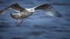 Gull on the Wing (roseysnapper) Tags: olympusmzuikodigitaled75300mmf4867ii olympusomdem10ii cramond scotland animal bird eye feather flight gull nature outdoor seabird sunlight wildlife wind