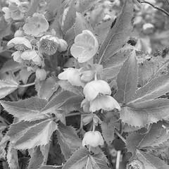 Helleborus foetidus~ HMBT in Explore (Wendy:) Tags: kilmacurragh arboretum helleborus foetidus hmbt explored plant hellebore tiltshift