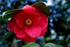 Sasanqua Camellia (2) (Paul's Captures (paul-mashburn.artistwebsites.com)) Tags: sasanquacamellia camellia japanesecamellia red springcolor