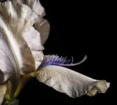The Beard Of A German Bearded Iris (Bill Gracey 18 Million Views) Tags: germanbeardediris iris fleur flower flowers nature naturalbeauty naturephotography macrolens macrophotography offcameraflash homestudio tabletopphotography softbox filllight yongnuo yongnuorf603n lakeside