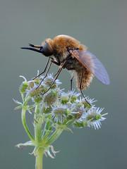 Macro shot close up. (Mel Diotte) Tags: macro bee fly close up nikon p7800 raynox 250 mel diotte nature wildlife flower insect explore