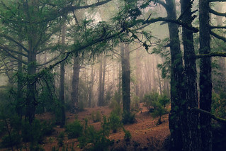 Pines and fog /El Pinar, La Palma