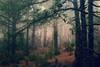 Pines and fog /El Pinar, La Palma (Rita Eberle-Wessner) Tags: espana spain spanien kanarischeinseln canaryislands lapalma pinos pines wald forest elpinar trees bäume nebel fog passatnebel niebla picobirigoyo elpilar mysterious foggy neblig geheimnisvoll zauberwald