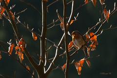 Auffällig unauffällig! (Renata1109) Tags: vogel baum deutschland tier rotkehlchen laub orange outdoor bird robin gefieder farben bayern natur umwelt naturschutz tree wood wald