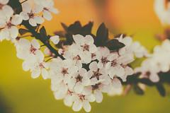 wild cherry (_andrea-) Tags: sonya7m2 mount carlzeiss objektiv outdoor blossoms blütenrausch blüten cherry planart1450 b