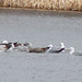 4 Gulls