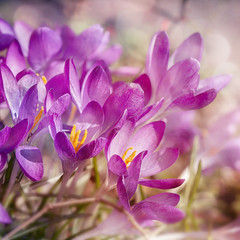 Spring light. (BirgittaSjostedt) Tags: crocus garden flower spring springtime closeup bright nature outdoor
