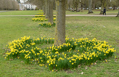20180322-25_Coombe Abbey Country Park - Daffodils + Avenue of Trees (gary.hadden) Tags: coombeabbey coombepark coventry warwickshire countrypark rambling countrywalking daffs daffodils spring trees flowers avenue