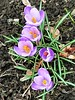 SMILE ON SATURDAY - SPRING FLOWERS CROCUS (Visual Images1 (Thanks for over 5 million views)) Tags: crocus smileonsaturday springflowers 6ws