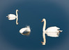 Two swans and a feather (ashokboghani) Tags: swan photoshop photoshopart feather digitalart modernart