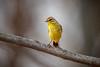 Palm Warbler (wn_j) Tags: birds birding nature naturephotography nationalwildliferefuge wildlife wildanimals wildlifephotography warbler palmwarbler canon canon500mm canon1dxii heinzwildlife heinz heinznwr johnheinz johnheinznwr