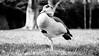 DSC08417.jpg (sebastianfricke1) Tags: duck ente blacknwhite goose gans