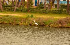 DSC_3599 (ezioman) Tags: whiteheron bird nature calikpond alghero sardinia italy water pond lagoon