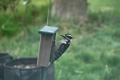 Hairy Woodpecker (lika2009 (in the U.S.A.)) Tags: hairywoodpecker bird woodpecker suetfeeder birdfeeder nj