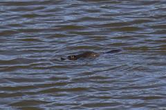 Platypus (Baractus) Tags: scottsdale tasmania australia platypus john oates inala nature tours pepper bush adventures