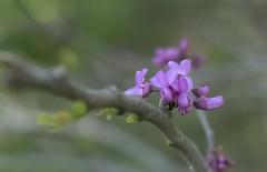 Cercis (pasquale di marzo) Tags: folower fiore ramo parco esterno 5omm macro aprile 2018 macromademoiselle