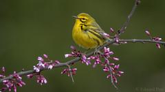 Prairie Warbler (Setophaga discolor) (ER Post) Tags: bird ohio2018 prairiewarblersetophagadiscolor trips warbler westunion ohio unitedstates us