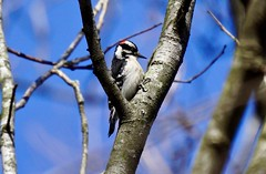 A male 'Downy Woodpecker' (Picoides pubescens) that has positioned himself in the crook of a tree (Curiously Captivating Creatures) Tags: picoides pubescens downy woodpecker male illinois wildlife spring season