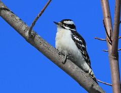 Pic mineur (Marie-Helene Levesque) Tags: oiseau abitibi valdor côtede100pieds loft pic picbois picmineur mariehélène mariehelene