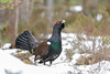 Capercaillie (Chas Moonie-Wild Photography) Tags: capercaillie scotland snow winter wild pine caledonian ngc