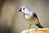 Tufted Titmouse (Stacey Conrad) Tags: d7500 nikon pa rockyridgecountypark york bird project52 tuftedtitmouse