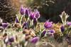 Pasque Flowers (mclcbooks) Tags: flower flowers floral pulsatilla pasqueflower denverbotanicgardens colorado spring backlit backlighting